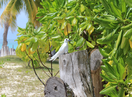 Fairy Tern Bird on Denis Island Seychelles