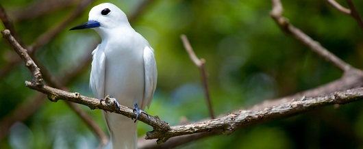 Fairytern in Denis Island