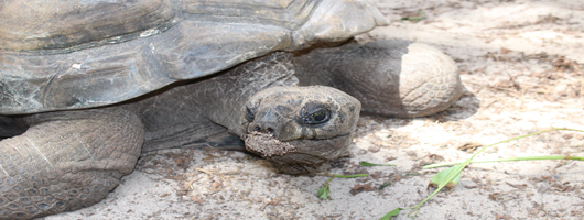 Meet the locals! - the giant tortoises